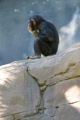 Lightmatter_chimp_thinker GNU licence