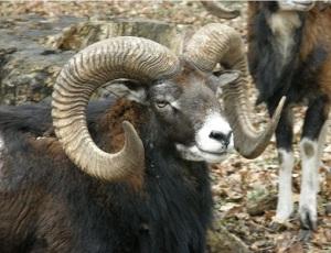 mouflon small